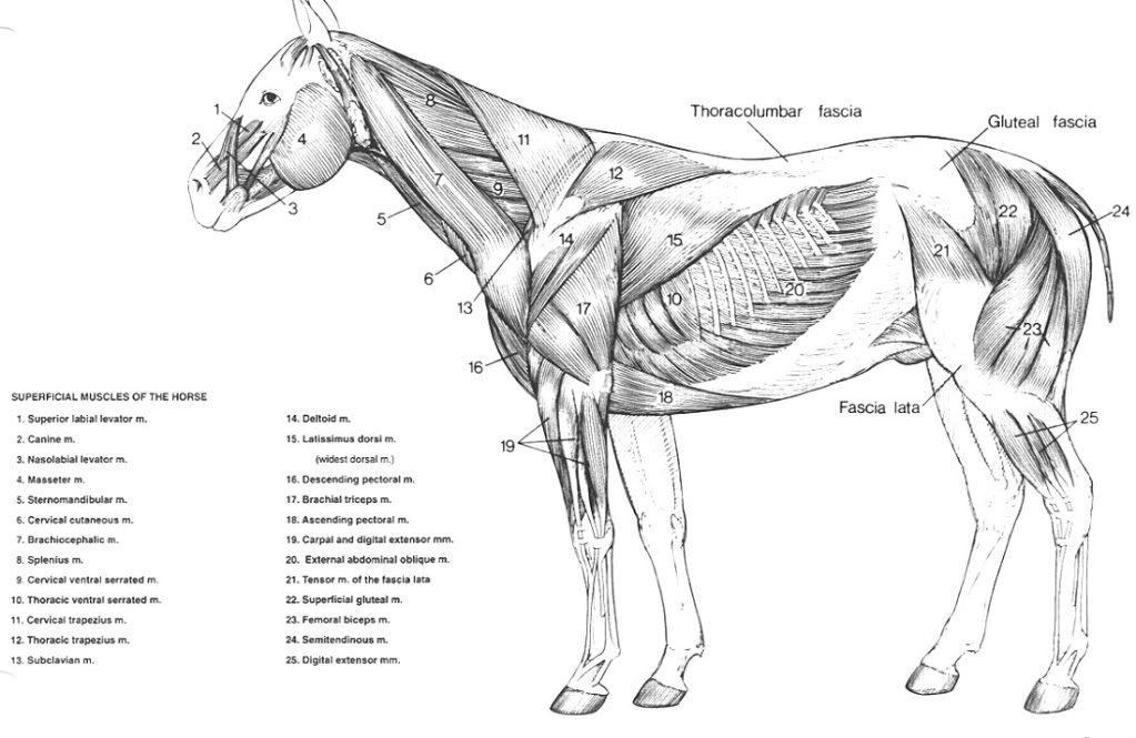 similiar equine muscle anatomy chart keywords, Cephalic Vein